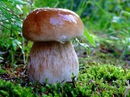 грибы для похудения