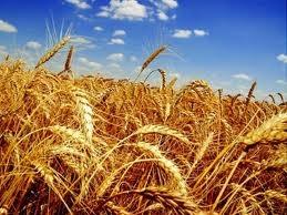 пшеница и зерно для похудения